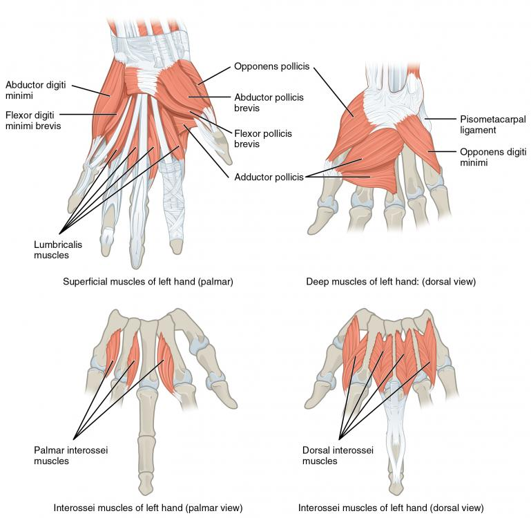 1121_Intrinsic_Muscles_of_the_Hand.jpg